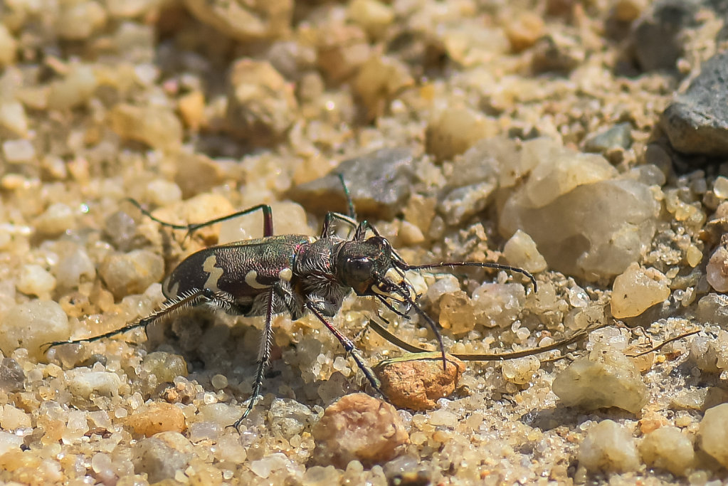 Duenen-Sandlaufkaefer-Cicindela-hybrida.jpg